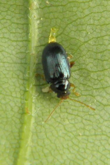 Flea Beetle - Derocrepis