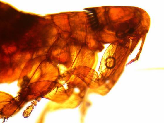 flea from Peromyscus (either maniculatus or leucopus)