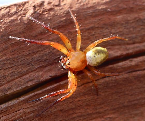 Male spider - Araniella displicata - male