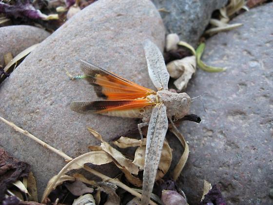 Orange-winged Arphia - Arphia conspersa - female