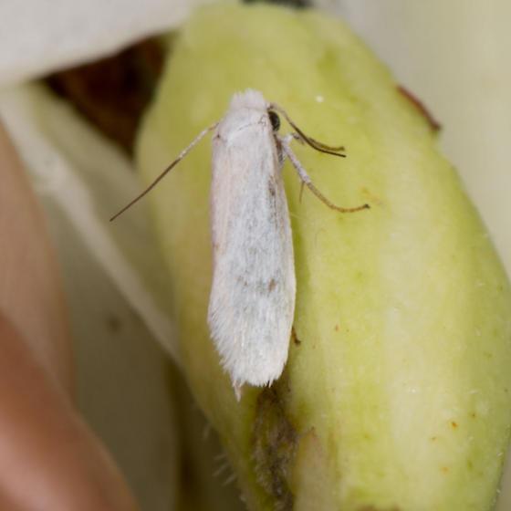 Yucca Moth - male - female