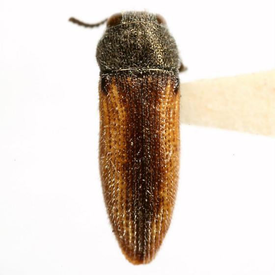 Acmaeodera neoneglecta Fisher - Acmaeodera neoneglecta