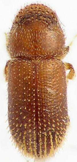 wire brush Scolytinae? - Thysanoes fimbricornis