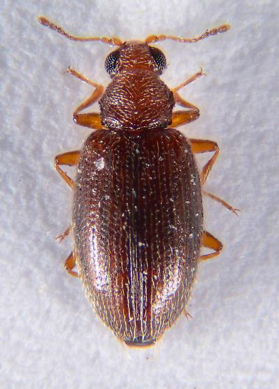 Corticariinae? - Melanophthalma