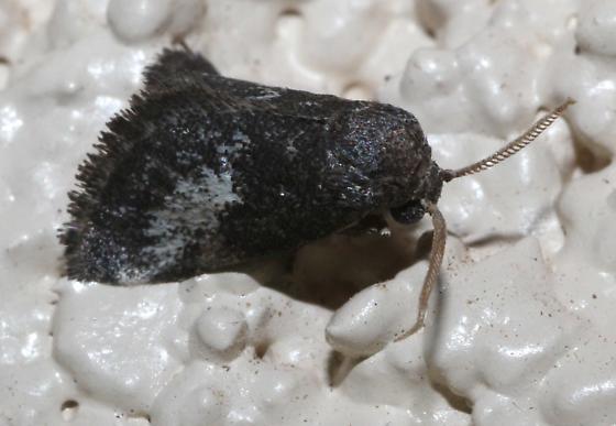 Stubby Moth - Cryptophobetron oropeso