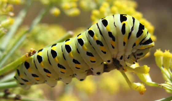 Likely Anise Swallowtail caterpillar? - Papilio zelicaon