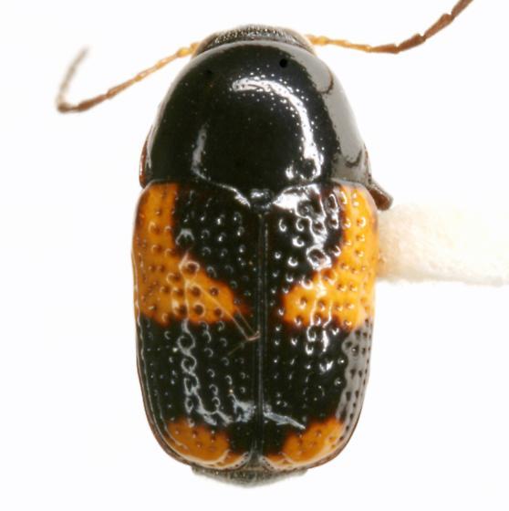 Cryptocephalus binominis Newman - Cryptocephalus binominis