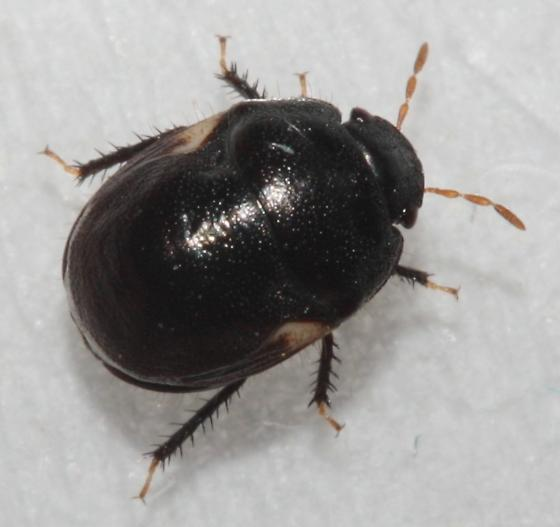 Cynoides - Cydnoides renormatus