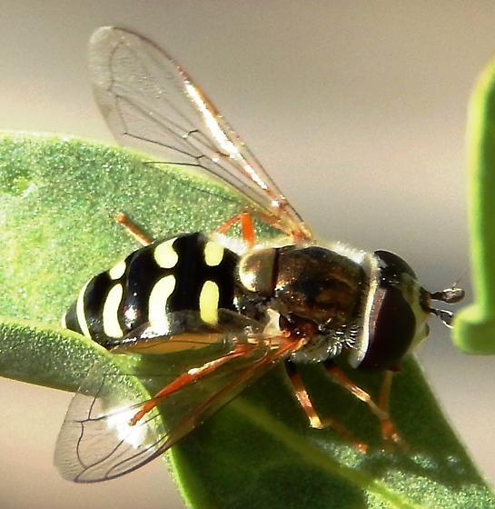 Syrphid fly on Ocotillo plant - Eupeodes volucris
