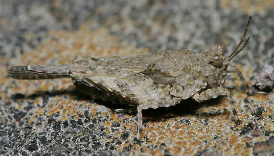 Hooded Grouse Locust - Paratettix cucullatus