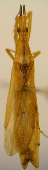 Reduviid - Pnirontis modesta