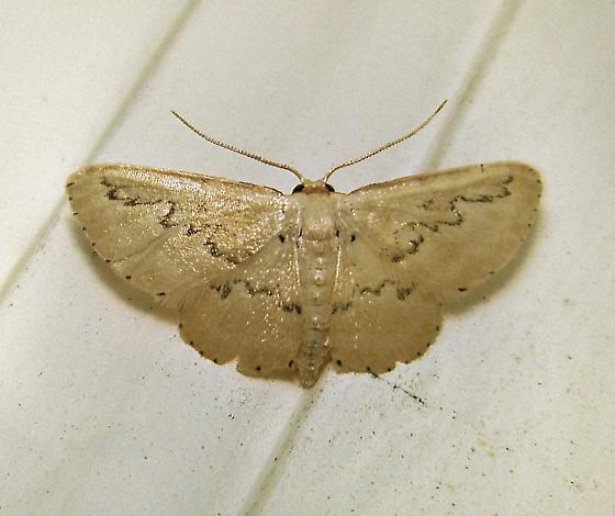 Hill's Wave Moth - Hodges #7118 (Idaea hilliata) - Idaea hilliata