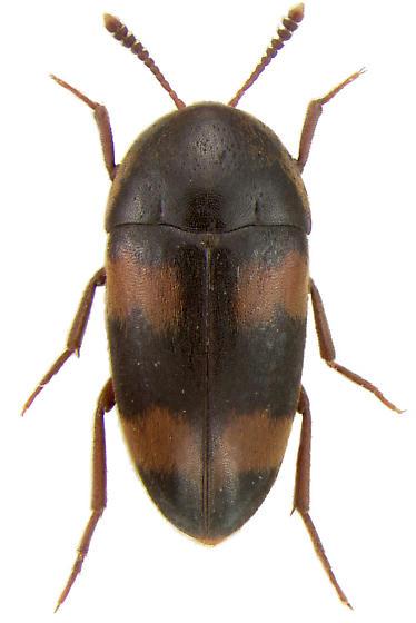 Holostrophus bifasciatus (Say, 1824) - Holostrophus bifasciatus