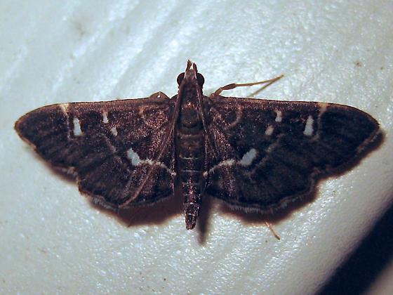 Harlequin Webworm Moth - Hodges #5175 (Diathrausta harlequinalis) - Diathrausta harlequinalis