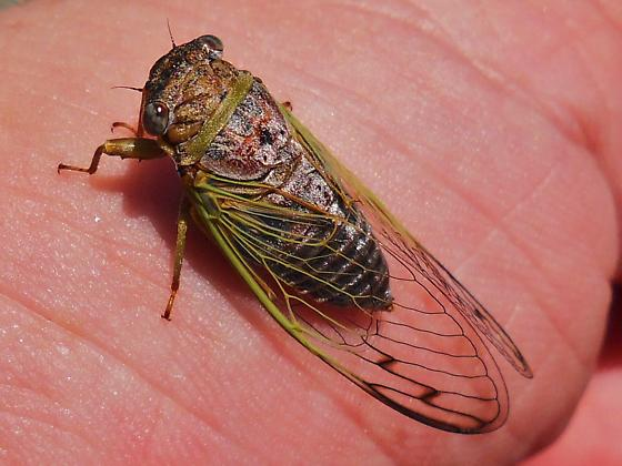 Cicada - Diceroprocta olympusa