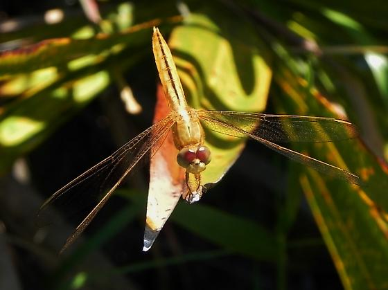 This dragonfly has me stumped - 3 angles photographed - anyone know this one? - Crocothemis servilia - male