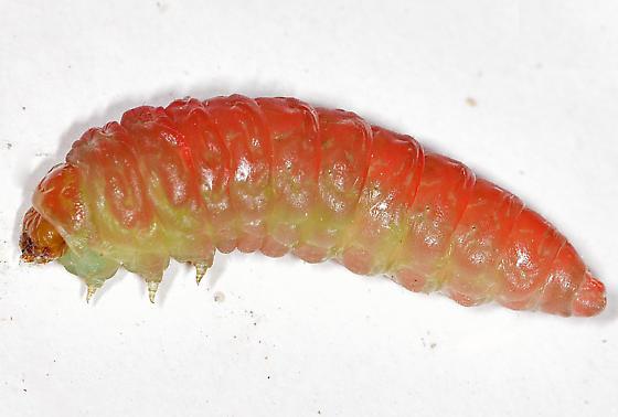 Yucca moth larva, lateral