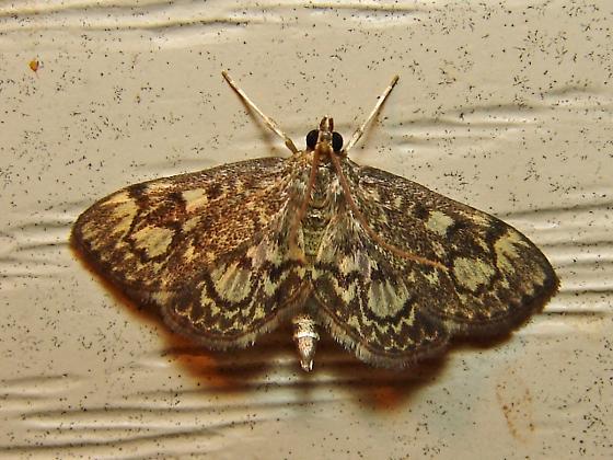 Triple crown - Anania plectilis