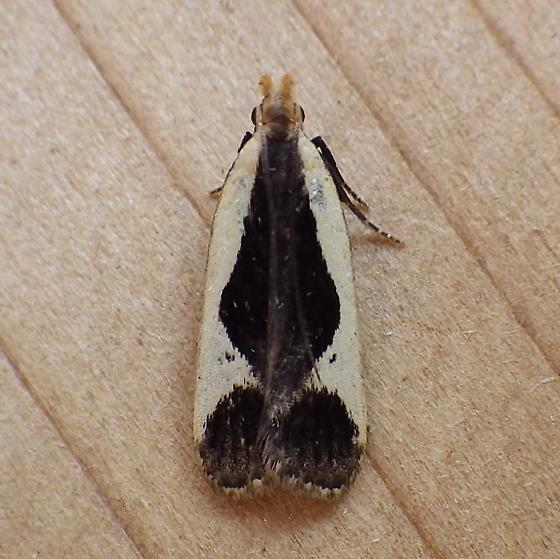 Gelechiidae: Dichomeris flavocostella - Dichomeris flavocostella