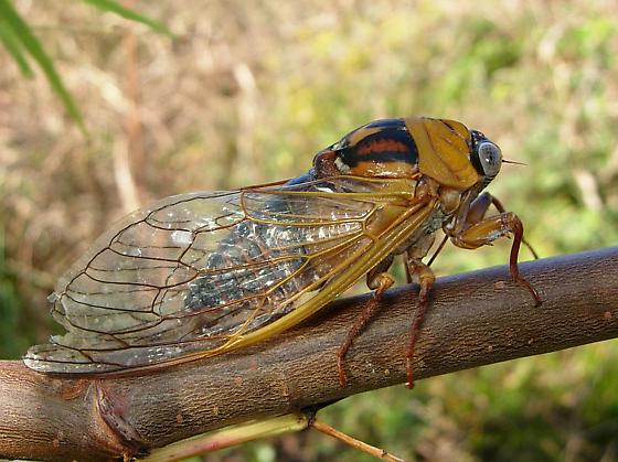 Cicada species - Megatibicen pronotalis