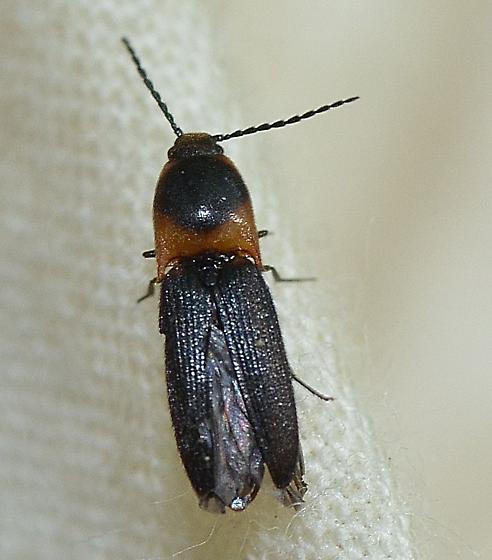 Elateridae - Anchastus signaticollis