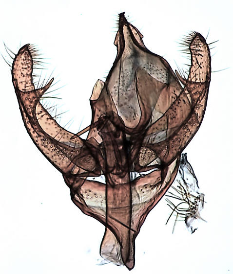 Eudarcia eunitariaeella - Eudarcia - male