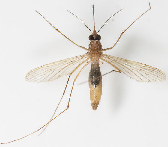 Mosquito - Culex pipiens