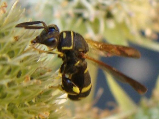 Leucospis affinis (M) ? - Leucospis affinis - male