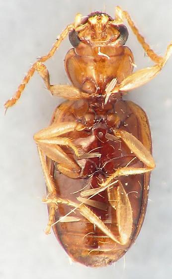 ink dot carabid - Pericompsus ephippiatus