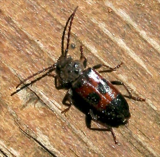 Wood Borer? - Semanotus amplus