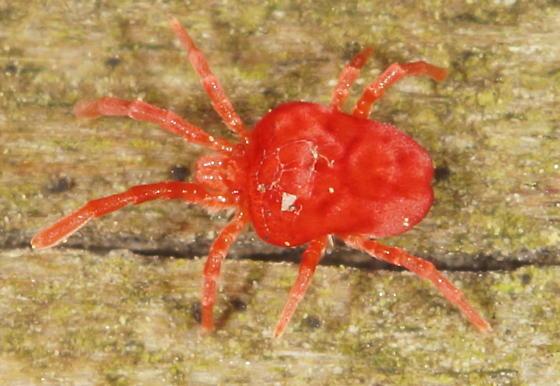 Unknown Mite - Trombidium