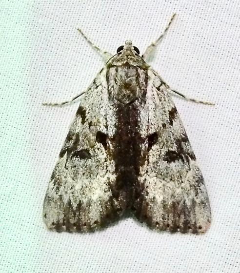Gloomy Underwing - Catocala andromedae