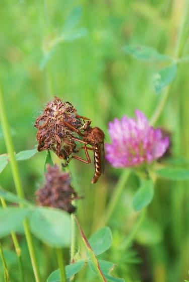 Large insect on pasture clover - Diogmites basalis