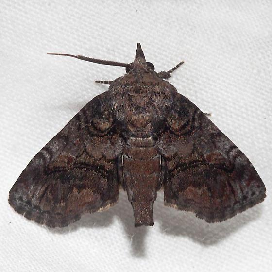 Paectes pygmaea - male