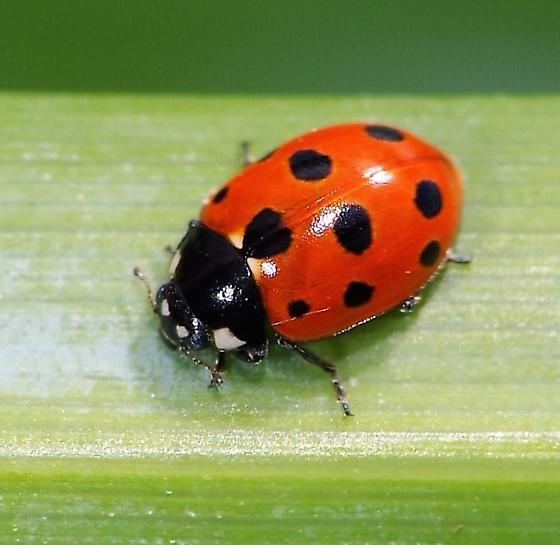 Ladybug - Coccinella undecimpunctata