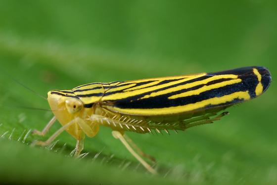 leafhopper - Sibovia occatoria