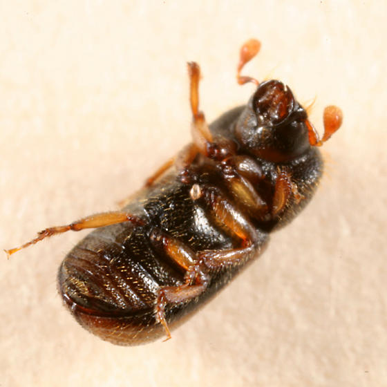 Scolytin beetle - Trypodendron lineatum