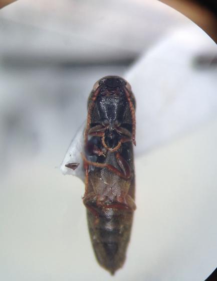 Eucnemidae - Nematodes penetrans