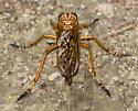 Orange robber fly - Diogmites