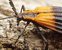 Net-wing Beetle - Calopteron terminale