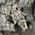 Pygmy Grasshopper - Tetrix brunneri