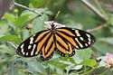 Tiger Mimic-Queen - Lycorea halia