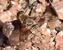Bombiliidae - Exoprosopa