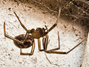 Spider that Lives in the Siding - Steatoda grossa