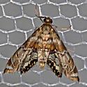 Confusing moth (Dicymolomia?) with reflectors! - Petrophila confusalis