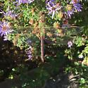 Common green darner - Anax junius - female