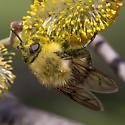 Not a Bumble Bee - Criorhina nigriventris - female
