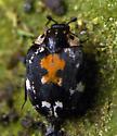 Unknown beetle - Anthrenus lepidus