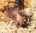 Antrodiaetidae ? - Antrodiaetus