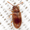 Silken Fungus Beetle - Cryptophagus